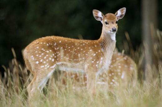 Axis deer (Axis axis), fawn. : Stock Photo