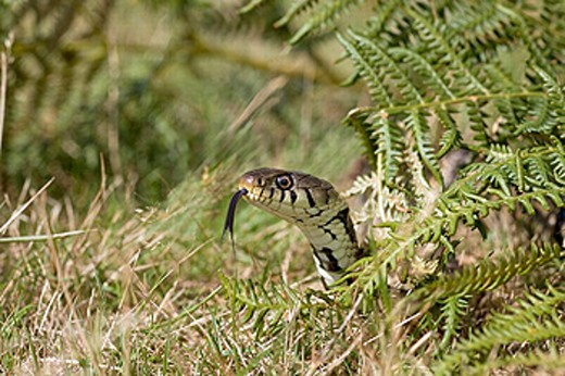 Stock Photo: 1566-257589 Grass snake (Natrix natrix)