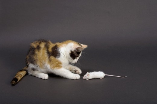 Tortoishell Kitten Playing With Mouse : Stock Photo