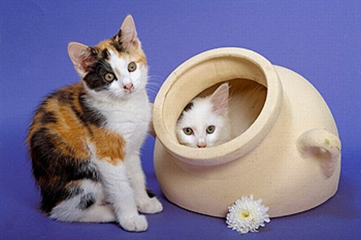 Stock Photo: 1566-257623 Tortoishell Kittens & Flowers