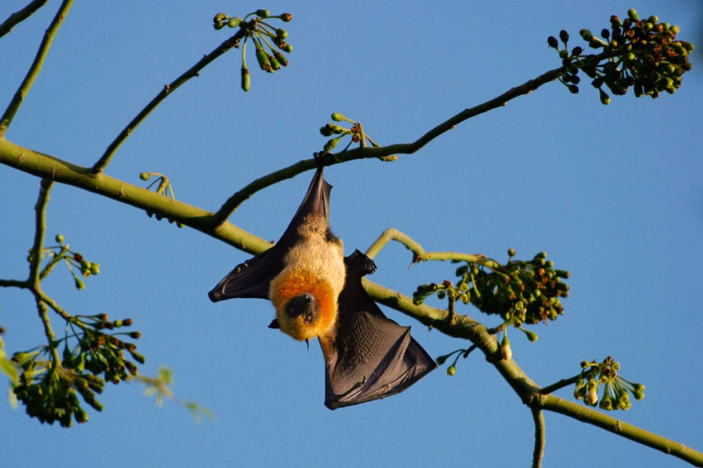 Endangered endemic fruit bat in Mayotte (Pteropus seychellensis comorensis). Indian Ocean. : Stock Photo
