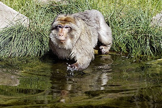 Stock Photo: 1566-258587 Barbary Macaque (Macaca sylvanus). La Montagne des Singes. Kintzheim. Alsace. France