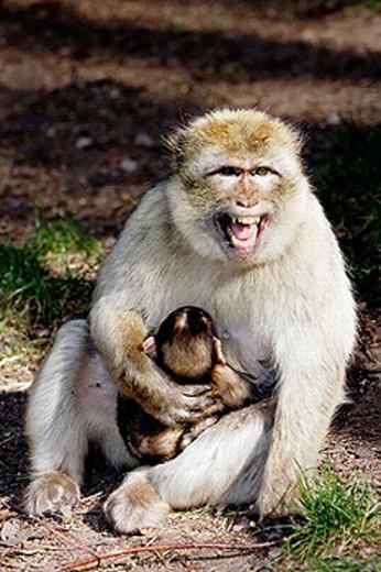 Agressive attitude. Barbary Macaque (Macaca sylvanus). La Montagne des Singes. Kintzheim. Alsace. France : Stock Photo