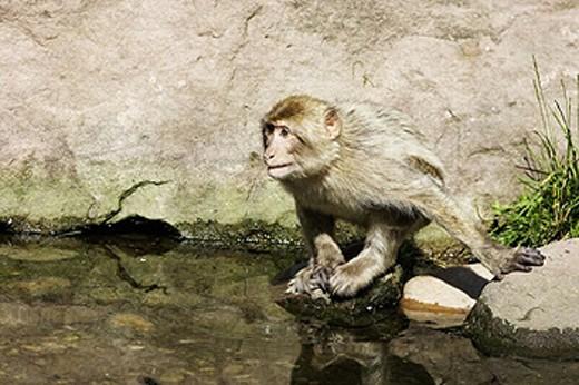 Barbary Macaque (Macaca sylvanus). La Montagne des Singes. Kintzheim. Alsace. France : Stock Photo