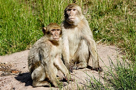 Stock Photo: 1566-258600 Barbary Macaque (Macaca sylvanus). La Montagne des Singes. Kintzheim. Alsace. France