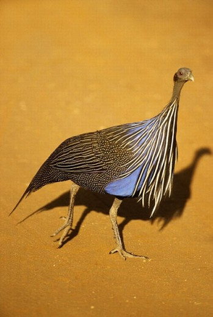 Stock Photo: 1566-258983 (Acryllium vulturinum) Samburu National Park, Kenya.