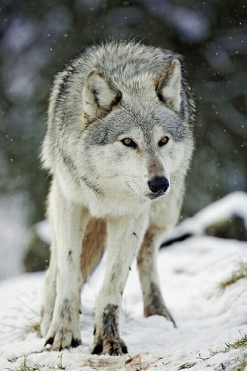 Wolf (Canis lupus) in snow / winter. (captive-bred animal) Scotland. : Stock Photo
