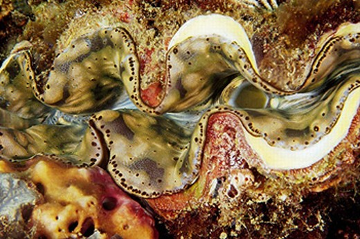 Giant clam, Tridacna sp., mantle detail, Dungon wall, Puerto Galera, Mindoro, Philippines : Stock Photo