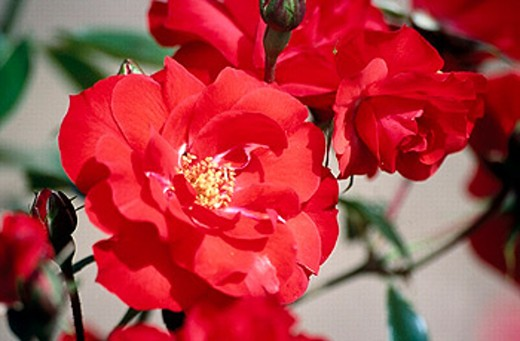 Rose : Stock Photo