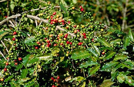 Coffee trees, Chiapas, Mexico : Stock Photo