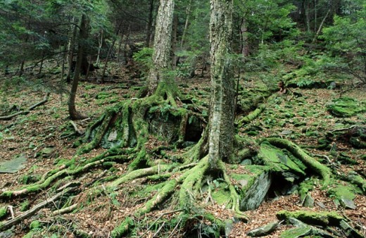 Green mossy covered treee roots and ground floor : Stock Photo