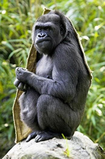 Stock Photo: 1566-263291 Gorilla (Gorilla gorilla), captive. Germany