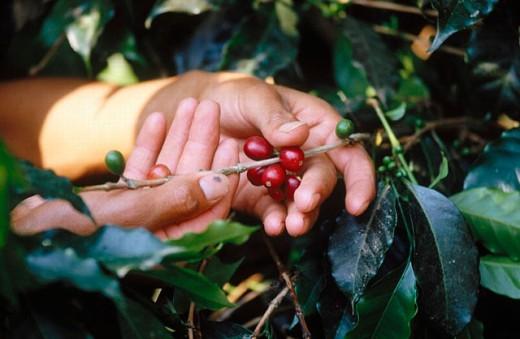 Coffee plantation, Veracruz state, Mexico : Stock Photo