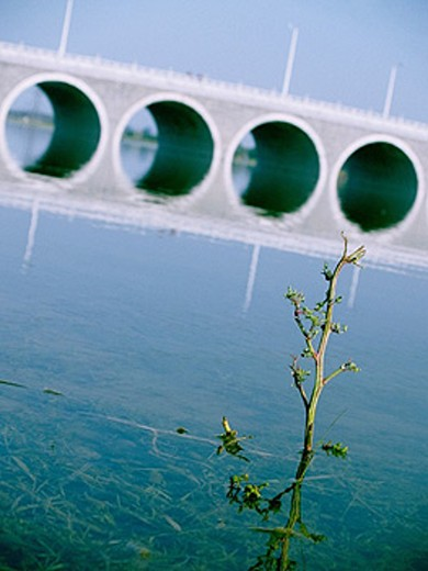 Stock Photo: 1566-263714 Small branch of a bush sticking out of a river banks. Arched bridge can be seen in the background. Photo taken in Shijiazhuang, Hebei, China