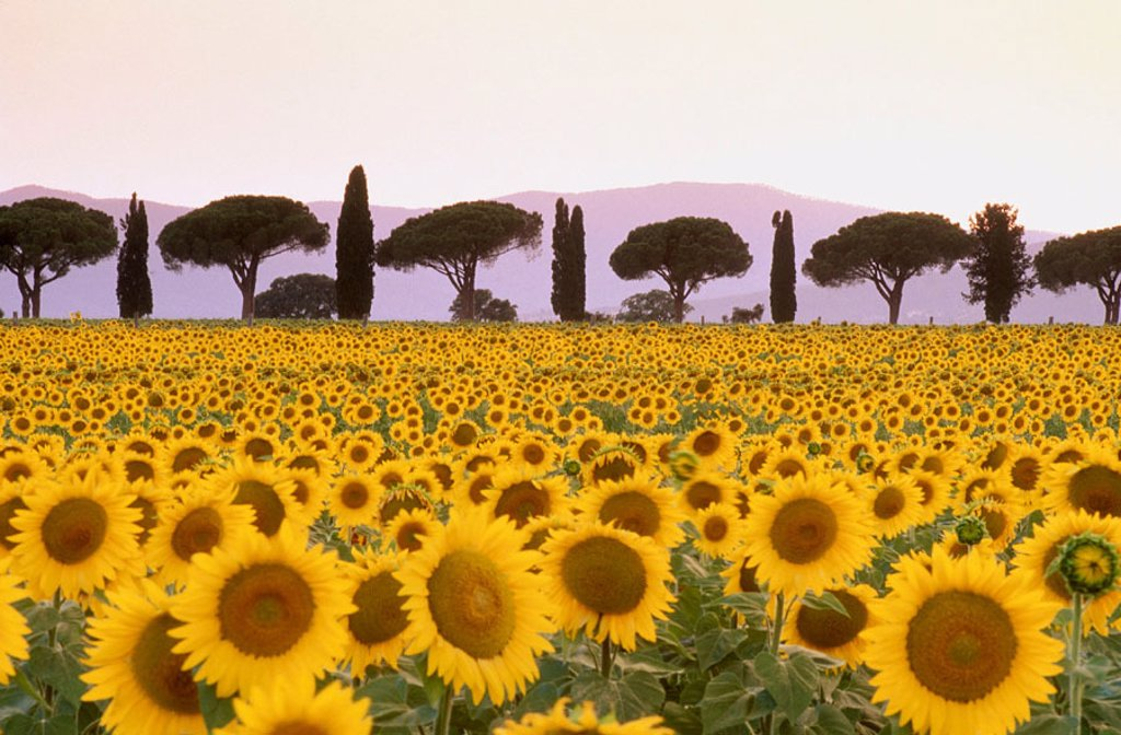 Stock Photo: 1566-264859 Sunflower field in front of Pines and Cypresses alley, Maremma, Tuscany, Italy