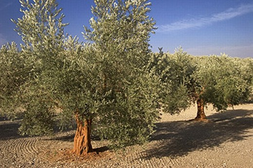 Stock Photo: 1566-265551 Olive trees near Baena. Córdoba province. Andalucia. Spain.