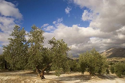 Stock Photo: 1566-265555 Olive trees around Baena. Córdoba province. Andalucia. Spain.