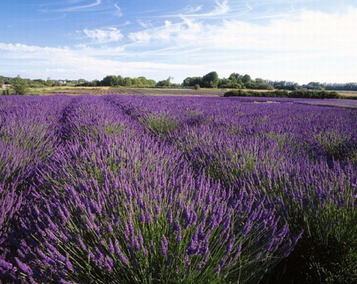 Lavender (Lavandula) field. Sequim. Clallam County. Washington. USA. : Stock Photo
