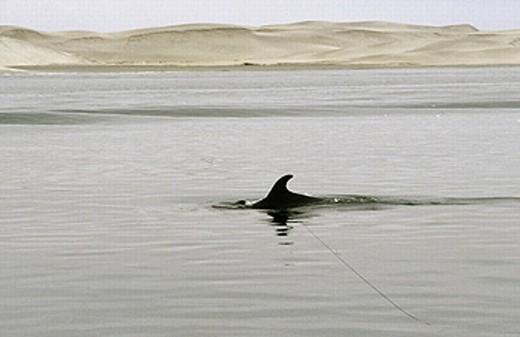 Risso´s Dolphin (Grampus griseus), El Vizcaíno Biosphere Reserve. Baja California, Mexico : Stock Photo