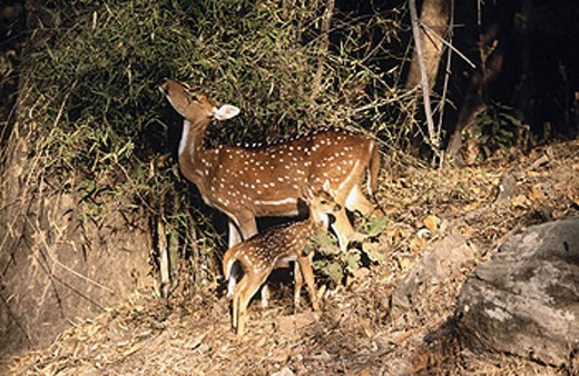 Deers, Bandhavgarh National Park. Madhya Pradesh, India : Stock Photo