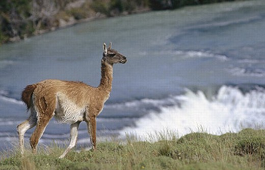 Guanaco, Torres del Paine National Park. Patagonia, Chile : Stock Photo