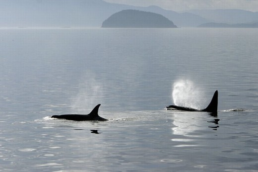 Orca pair (Orcinus orca - also known as killer whale) surfacing together in Southeast Alaska, USA. : Stock Photo