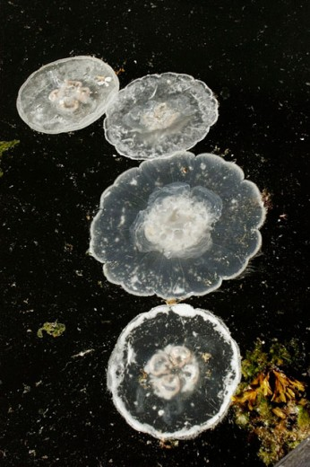 unknown jellyfish species on surface. Baranof Island, southeast Alaska, USA. : Stock Photo