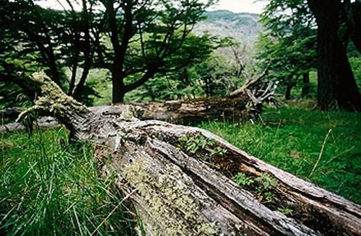 Lenga (Nothofagus pumilio) forest, Patagonia : Stock Photo