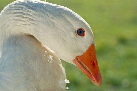 Goose : Stock Photo
