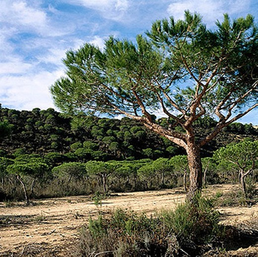 Stock Photo: 1566-273111 Stone pine (Pinus pinea) forest, Doñana National Park. Huelva province, Spain
