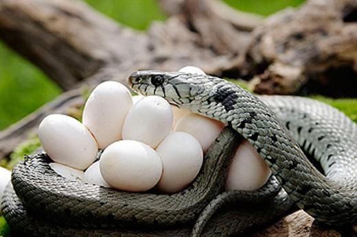 Stock Photo: 1566-273235 Ringed Snake (Natrix natrix) and eggs.