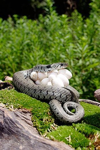 Stock Photo: 1566-273237 Ringed Snake (Natrix natrix) and eggs.