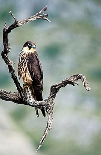 Eleonora´s Falcon (Falco eleonorae) : Stock Photo