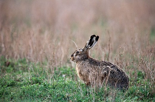 Hare (Lepus capensis europaeus) sitting in a field. Spring. National Park of the Lake of Neusiedel. Austria. : Stock Photo
