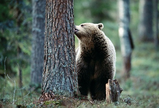 Brown bear (Ursus arctos). Spring. Biting in the bark of a pine. Pine forest of Carelia near the Russian border. Finland. : Stock Photo