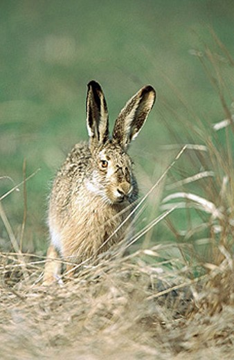 Hare (Lepus capensis europaeus) sitting in dry grass. Spring. National Park of the Lake of Neusiedel. Austria. : Stock Photo