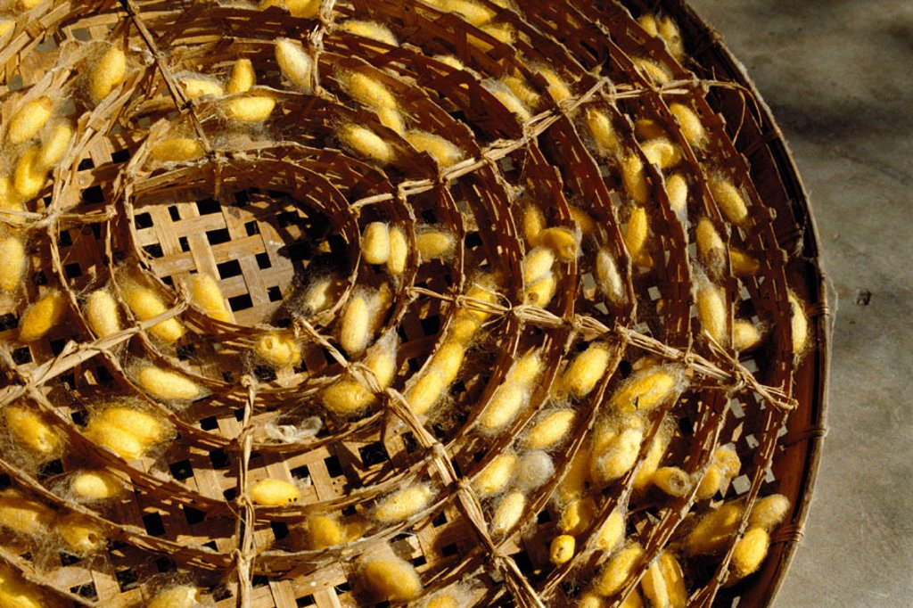 Silkworm cocoons, Thailand : Stock Photo