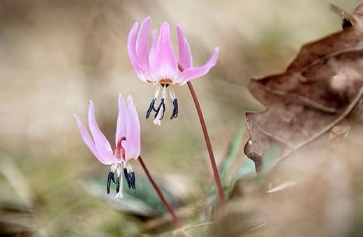 Dog´s tooth (Erythronium dens-canis). Transylvania. Rumania. : Stock Photo