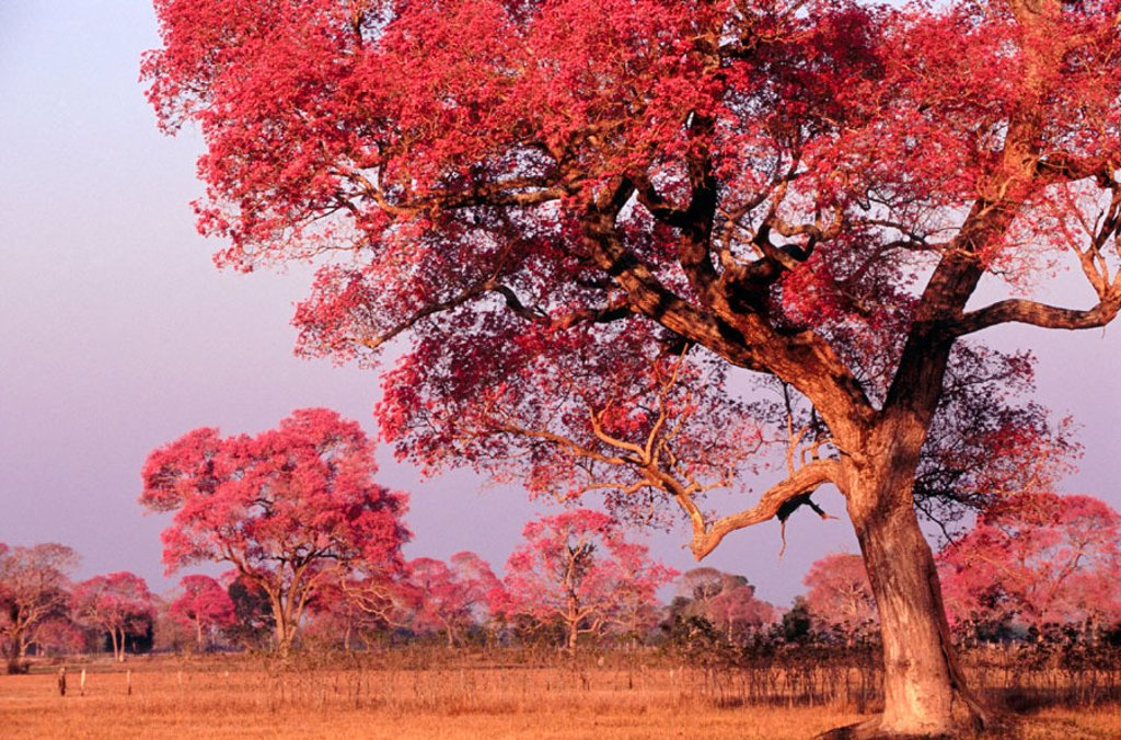 Rose trumpet trees in flower dry pasture with trees type for How to calculate board feet in a tree