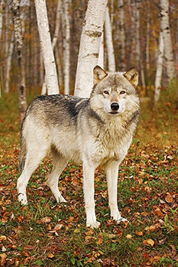 Stock Photo: 1566-279617 Gray Wolf (Canis lupus)