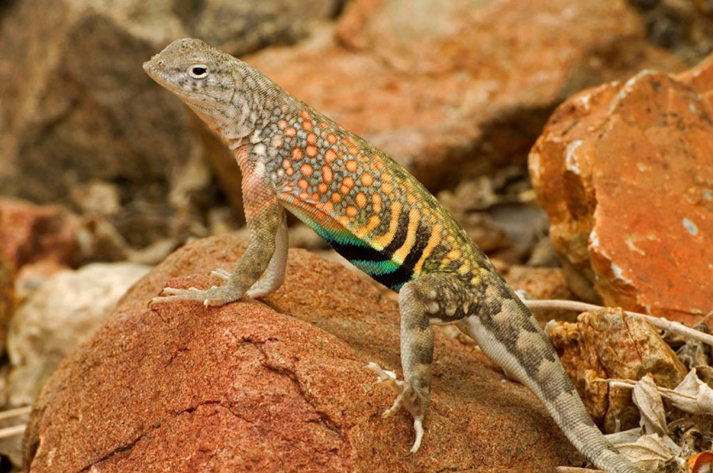 Stock Photo: 1566-280141 Greater Earless Lizard (Cophosaurus texanus). Male in breeding colors-lives in middle elevations of Arizona, New Mexico and Texas. Eats insects and spiders. USA.