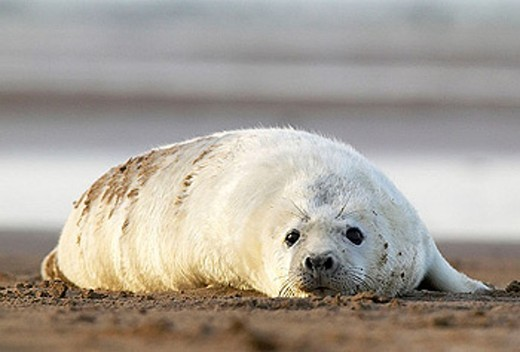 Grey Seal (Halichoerus grypus), pup on sand. Donna Nook National Nature Reserve, England. UK : Stock Photo