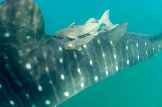 Remora, Remora remora, hitching a ride on a 35ft Whale Shark, Remoras are about 2 to 3 ft long, Sea of Cortez, Mexico : Stock Photo