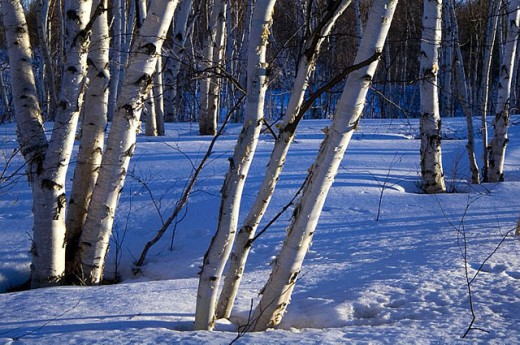 Stock Photo: 1566-282272 Birch grove in late winter. Sudbury. Ontario. Canada.