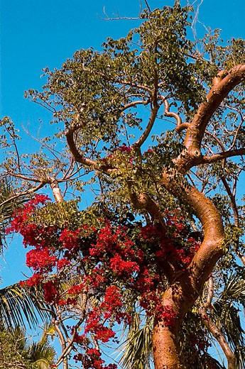 Stock Photo: 1566-282563 Bougainvillea and gumbo limbo tree. Sanibel Is, FL, USA