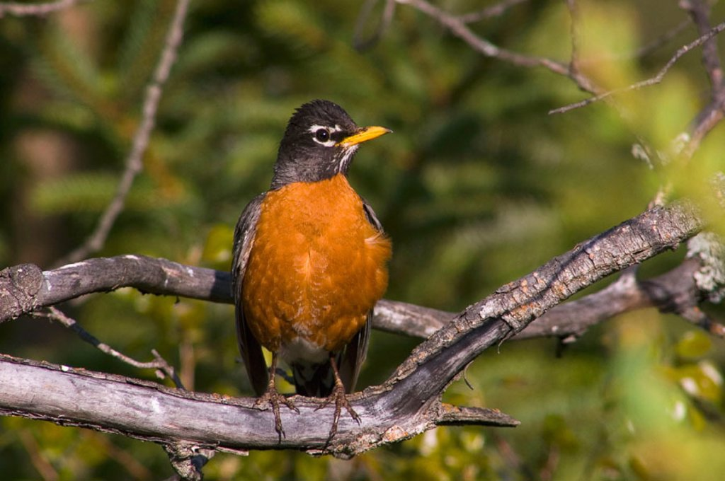 American robin (Turdus migratorius), watchful male near nest. Lively, ON, Canada : Stock Photo