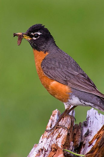 American robin (Turdus migratorius), male with prey for young, nesting behaviour. Lively, ON, Canada : Stock Photo