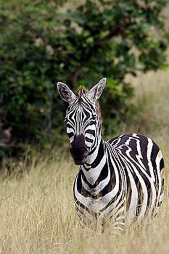Stock Photo: 1566-286024 Burchell´s Zebra (Equus burchellii burchellii). Arsi. Ethiopia.