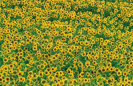 Cultivated sunflowers (Helianthus annuus) in June in the Campiña Cordobesa, the fertile rural area south of Córdoba. Province of Córdoba, Andalucía, Spain. : Stock Photo