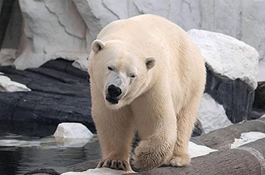 Stock Photo: 1566-286359 Polar bear San Diego, SeaWorld.